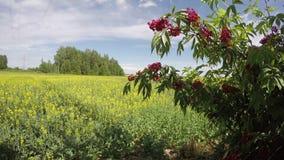 红色长辈接骨木花总状花序近的油菜籽领域,时间间隔 股票录像