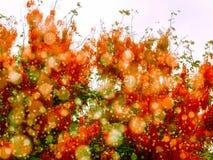 红色阵雨在秋天开花绽放所有树 库存图片