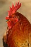 红色雄鸡 免版税库存照片