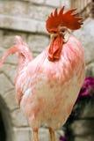 红色雄鸡 库存图片