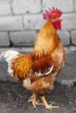 红色雄鸡 免版税图库摄影