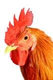 红色雄鸡 免版税库存图片
