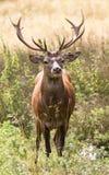 红色雄鹿在晚夏阳光下 免版税图库摄影