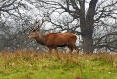 红色雄鹿鹿在英国公园 库存照片
