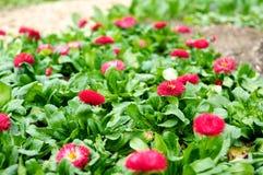 红色雏菊的领域 图库摄影
