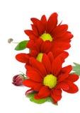 红色雏菊 免版税库存图片
