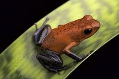 红色青蛙哥斯达黎加雨林 免版税库存照片