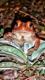 红色青蛙 库存图片