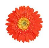 红色顶视图五颜六色的花和开花与水下落的黄色大丁草或者barberton雏菊隔绝在白色背景 免版税库存图片