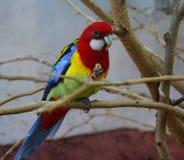 红色顶头东部Rosella长尾小鹦鹉 免版税图库摄影