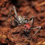 红色顶头木蚂蚁 库存照片