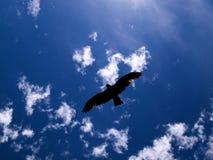 红色风筝狩猎 库存照片