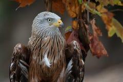 红色风筝(Milvus milvus)秋天颜色 免版税图库摄影