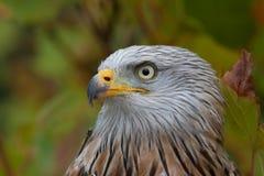 红色风筝(Milvus milvus)秋天颜色 图库摄影
