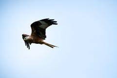 红色风筝Milvus milvus,飞行在一个晴天 库存照片