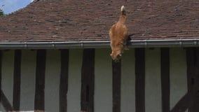 红色飞跃从屋顶,诺曼底的平纹家猫, 股票录像