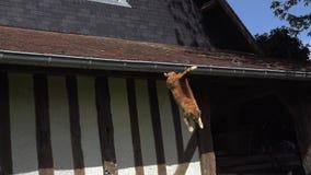 红色飞跃从屋顶,诺曼底的平纹家猫, 影视素材
