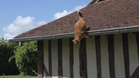 红色飞跃从屋顶,诺曼底的平纹家猫, 股票视频