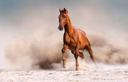 红色马在沙漠 免版税库存照片