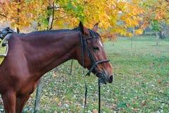 红色马在秋天公园 图库摄影