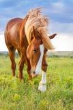 红色马在草甸 库存照片