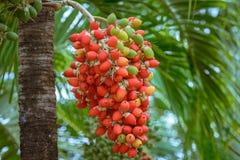 红色马尼拉棕榈 库存照片