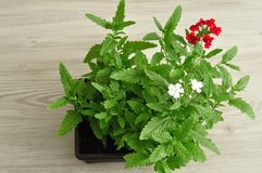 红色马鞭草属植物幼木盘子  图库摄影