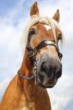 马画象。 免版税库存图片