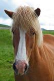 红色马画象与轻的鬃毛的 库存图片