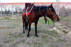 红色马 免版税库存图片