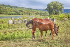 红色驹和母马 库存照片