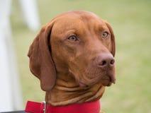 红色骨头猎浣熊的猎犬 免版税库存图片