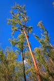 红色高大的树木树干 库存照片