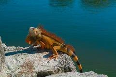 红色鬣鳞蜥 免版税库存照片