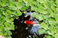红色鱼在绿色池塘 免版税库存照片