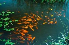 红色鱼 图库摄影