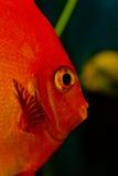 红色鱼 库存照片