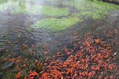 红色鲤鱼在河 库存照片