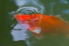 红色鲤鱼koi鱼 免版税库存图片