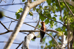 红色鸟,马达加斯加天堂捕蝇器, Terpsiphone mutata,保留Tsingy, Ankarana,马达加斯加 库存图片