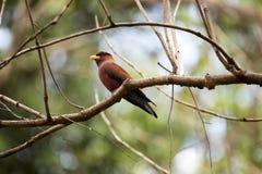 红色鸟,马达加斯加天堂捕蝇器, Terpsiphone mutata,保留Tsingy, Ankarana,马达加斯加 图库摄影
