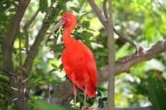 红色鸟 免版税库存照片