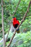 红色鸟 库存图片