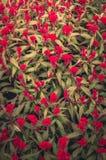 红色鸡冠花或羊毛花或Cockscomb花葡萄酒 免版税图库摄影