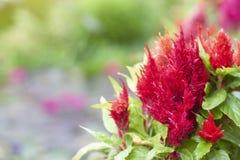 红色鸡冠花Plumosa,与空间的城堡系列在庭院里 免版税库存图片