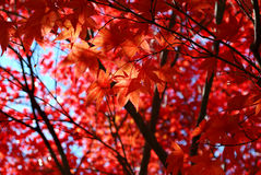 红色鸡爪枫叶子 免版税库存照片