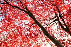 红色鸡爪枫结构树背景 免版税库存照片