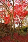 红色鸡爪枫结构树 免版税库存图片