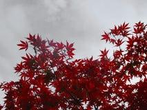 红色鸡爪枫 库存照片