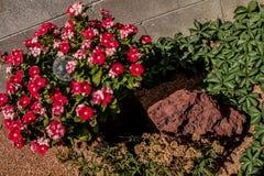 红色鸦片、绿色叶子、沙漠岩石和沙子 免版税库存照片